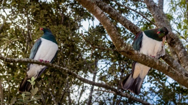 New Zealand Pigeons