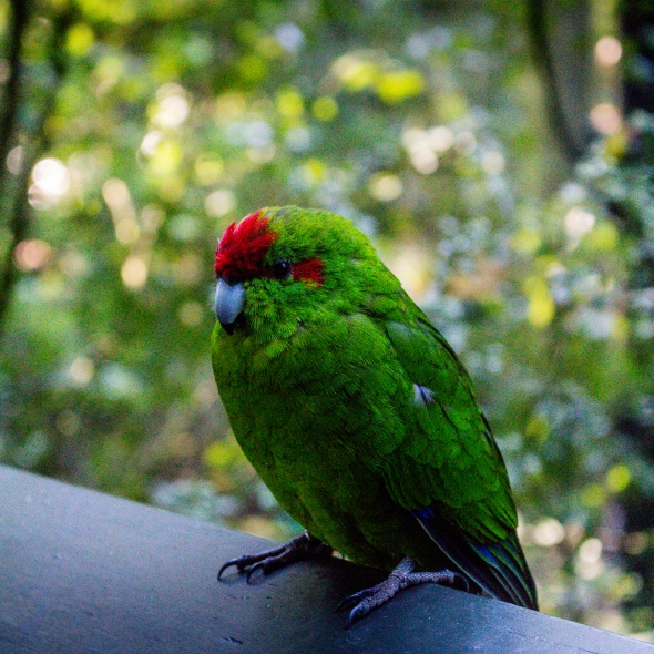 Orange-Dronted Parakeet