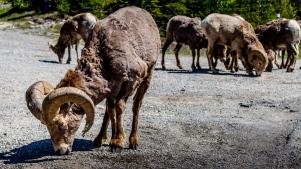 Bighorn mountain sheep-1